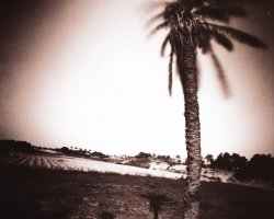 1270 - Palm tree - Gaza bank