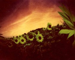 1975 - Sunflowers 6