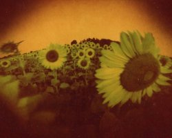 1976 - Sunflowers 7