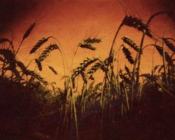 1998 - Wheat field 2