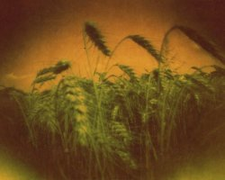 1999 - Wheat field 3